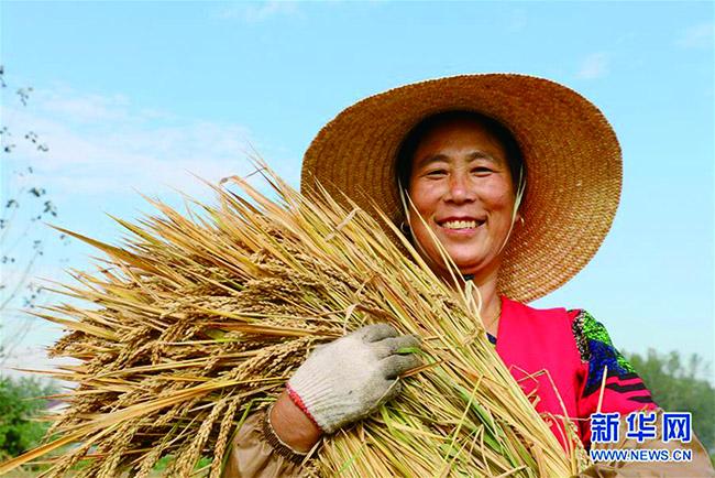 金秋十月稻谷熟 各地喜迎丰收季